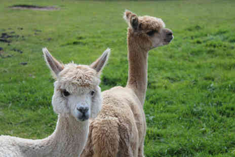 White Peak Alpaca Farm - 60 minute alpaca experience with farm entry for one - Save 50%