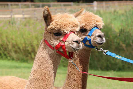 Oakmere Alpacas - 90 minute alpaca walk experience for one - Save 50%