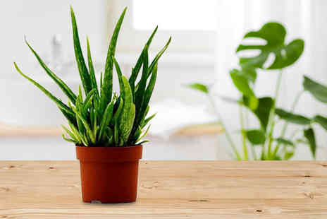 Easy Plants - Evergreen medicinal Aloe Vera in pot table plant - Save 46%
