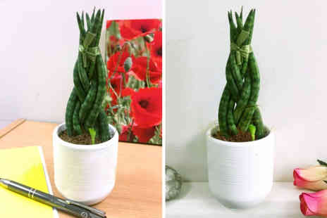 Easy Plants - Sansevieria Cylindrica braided snake plant - Save 61%