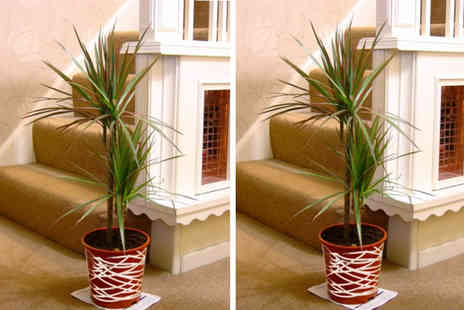 Easy Plants - Large Double Dragon tree house plant in a pot - Save 43%