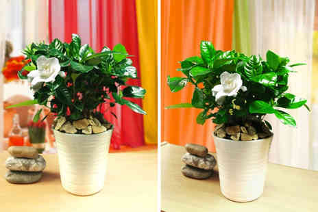 Easy Plants - Fragrant Gardenia potted plant - Save 17%