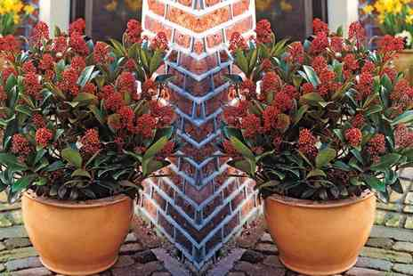 Groupon Goods Global GmbH - One, Two or Three Skimmia Japonica Rubella Plants - Save 21%