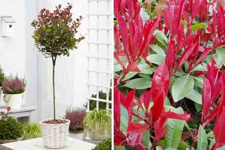 Plantstore - Photinia fraseri Red Robin compact tree - Save 47%