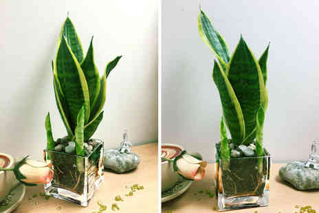 Easy Plants - Snake plant in a glass pot - Save 61%
