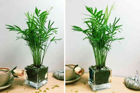 Easy Plants - Mini indoor parlour palm plant - Save 62%