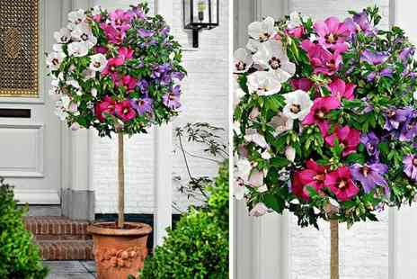 PlantStore - Extra large tricolour hibiscus tree - Save 48%