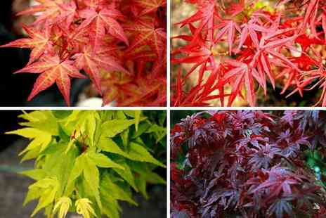 Plantstore - Trio of Japanese acer maples - Save 48%