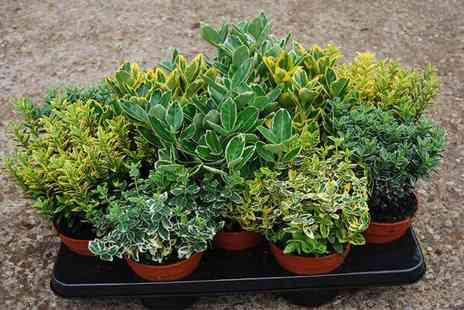 Plantstore - Pack of four evergreen euonymus plants - Save 49%