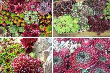 Plant Store - Pack of six evergreen hardy succulent plants - Save 21%
