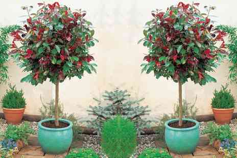 Groupon Goods Global GmbH - One or Two Photinia Red Robin Trees with Optional 3.6L Patio Pots - Save 0%