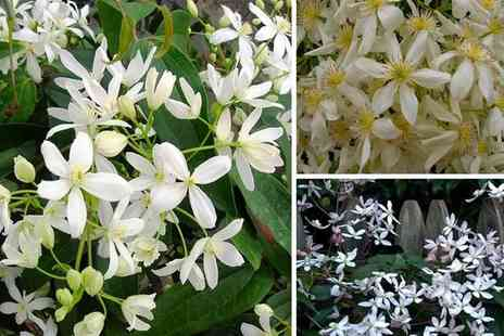 PlantStore - Clematis armandii evergreen climber - Save 50%