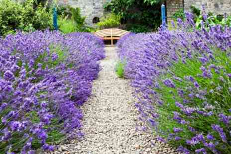 Groupon Goods Global GmbH - Hidcote and Munstead English Lavender Collection 24, 48, 72, 144 or 288 Plants - Save 43%