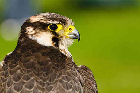 Hawksflight Falconry - Two hour falconry experience or three hours - Save 64%