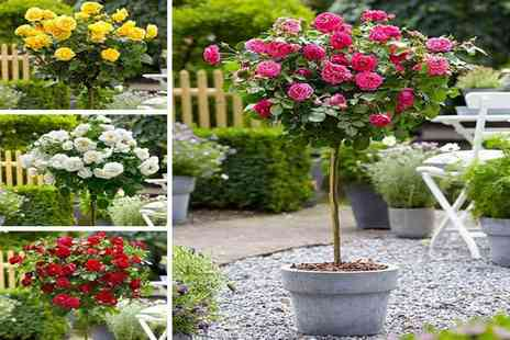 PlantStore - Set of four patio standard rose trees in assorted colours have a gorgeous looking garden - Save 57%