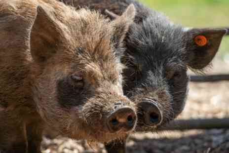 Kew Little Pigs - Pet and Play with Miniature Pigs for Up to Four or Pig Enthusiast for Up to Two - Save 47%