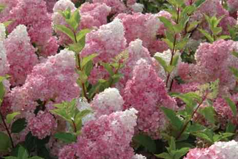 Groupon Goods Global GmbH - Hydrangea Vanilla Fraise One, Two or Three Plants with Optional Patio Planters - Save 20%