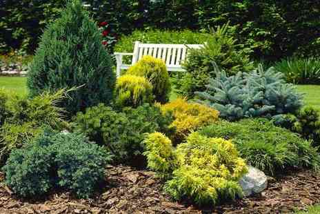PlantStore - Collection of five dwarf conifers - Save 52%