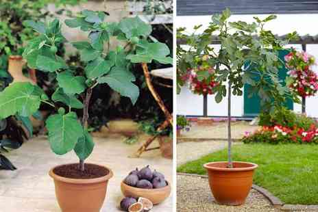 PlantStore - Patio fig tree or two fig trees - Save 47%