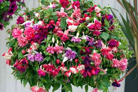 Groupon Goods Global GmbH - 5,10 or 20 Hardy Fuchsia Plants - Save 0%