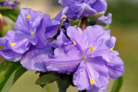 Groupon Goods Global GmbH - One, Three or Six Tradescantia Spectacular Spiderwort Plants - Save 7%