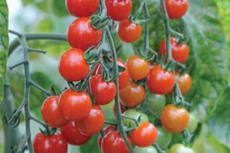Groupon Goods Global GmbH - 6, 12 or 20 Tomato Sweet Aperitif Plants - Save 43%