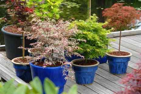 Groupon Goods Global GmbH - Two or Four Japanese Young Maple Trees - Save 65%