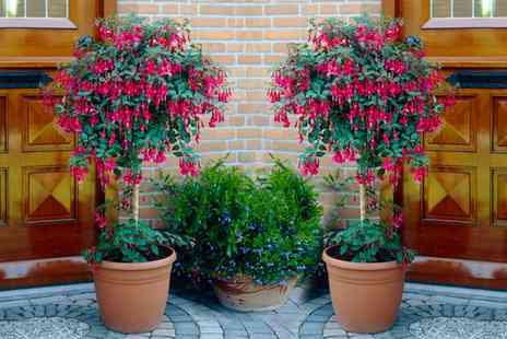 Groupon Goods Global GmbH - One or Two Fuchsia Standard Trees - Save 20%