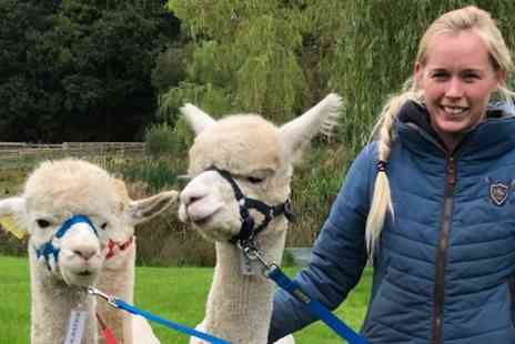 Oakmere Alpacas - 90 Minute Alpaca Walk with Refreshments for Up to Four - Save 50%