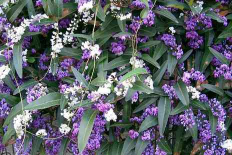 Groupon Goods Global GmbH - Hardenbergia Alba, Violacea or Mixed Colour Evergreen Plant - Save 0%