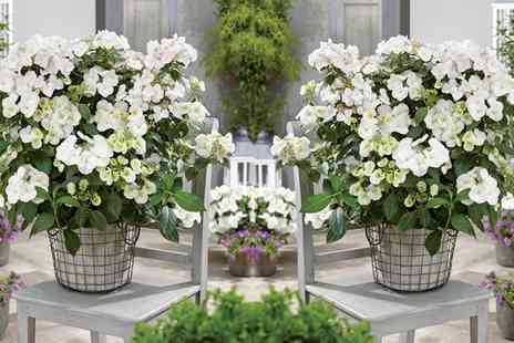 Groupon Goods Global GmbH - One, Two or Three Hydrangea Hybrid Runaway Brides with Optional Patio Pots - Save 0%