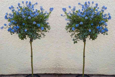 Plant Store - Pair of 70cm evergreen Californian Lilac trees - Save 63%