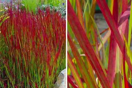 PlantStore - Three Red Barron Japanese Blood Grasses - Save 31%