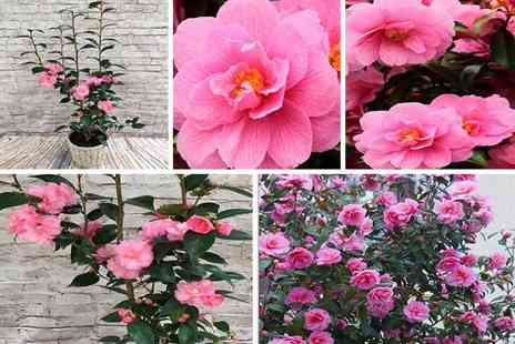 PlantStore - One pink Camellia Spring plant - Save 37%