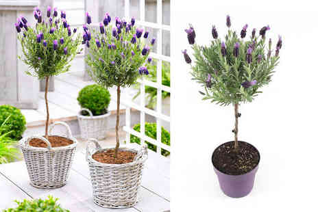 PlantStore - Pair of French lavender patio trees - Save 38%