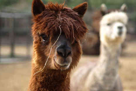 Herrings Green Activity Farm - Alpaca walk and farm visit for one person - Save 72%