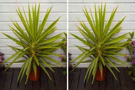 Plant Store - One 3 Or 4ft variegated yucca palm tree - Save 49%