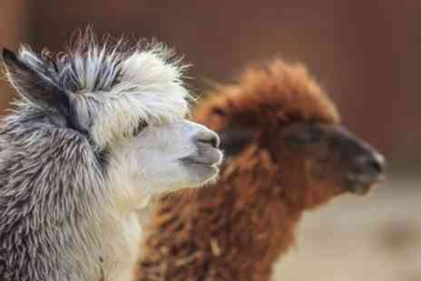 Willow Tree Family Farm - Alpaca Experience and Cream Tea for Two or Four - Save 68%