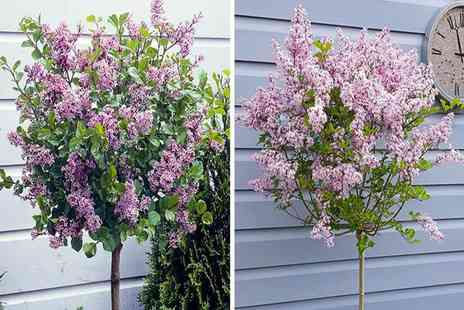 Blooming Direct - Lilac Syringa Palibin tree - Save 37%
