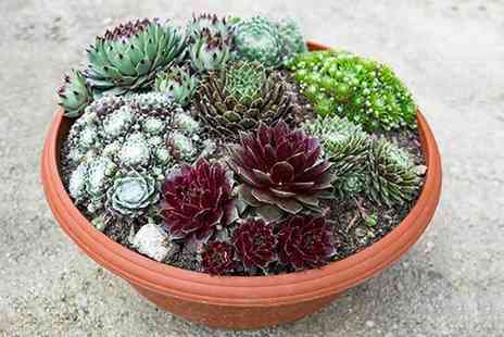 Blooming Direct - Sempervivum houseleek collection - Save 17%
