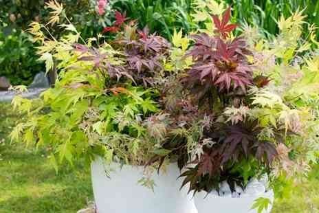 Blooming Direct - Tricolour Acer festival mix plant - Save 42%