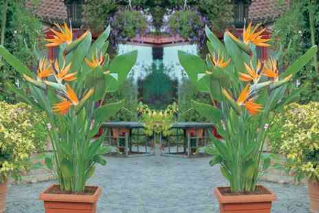 Groupon Goods Global GmbH - Strelitzia Bird of Paradise Plants Choose from One or Two Plants with Optional Pots - Save 0%