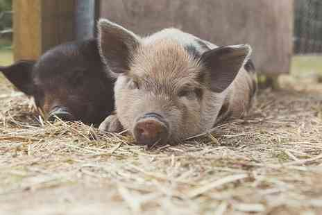 Kew Little Pigs - Miniature pig pet and play experience for one person - Save 33%