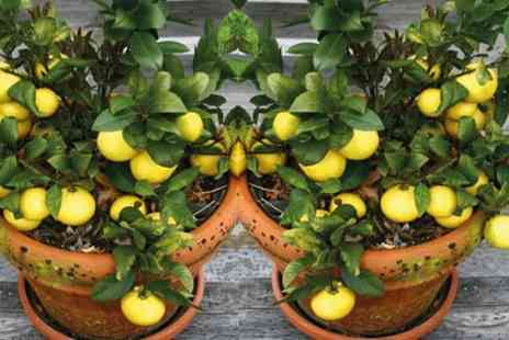 Groupon Goods Global GmbH - Mediterranean Fruit Collection Lemon, Lime, Fig and Calamondin with Optional Patio Pots - Save 63%